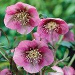 helleborus orientalis pink lady