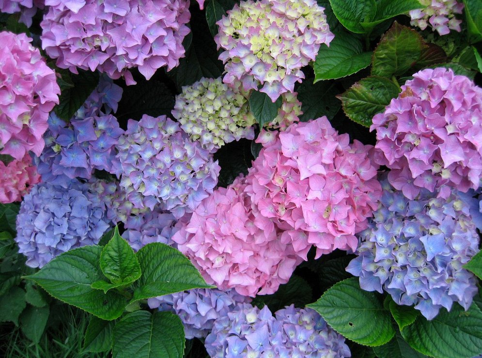 hydrangea basics and care floral and hardy of skippack